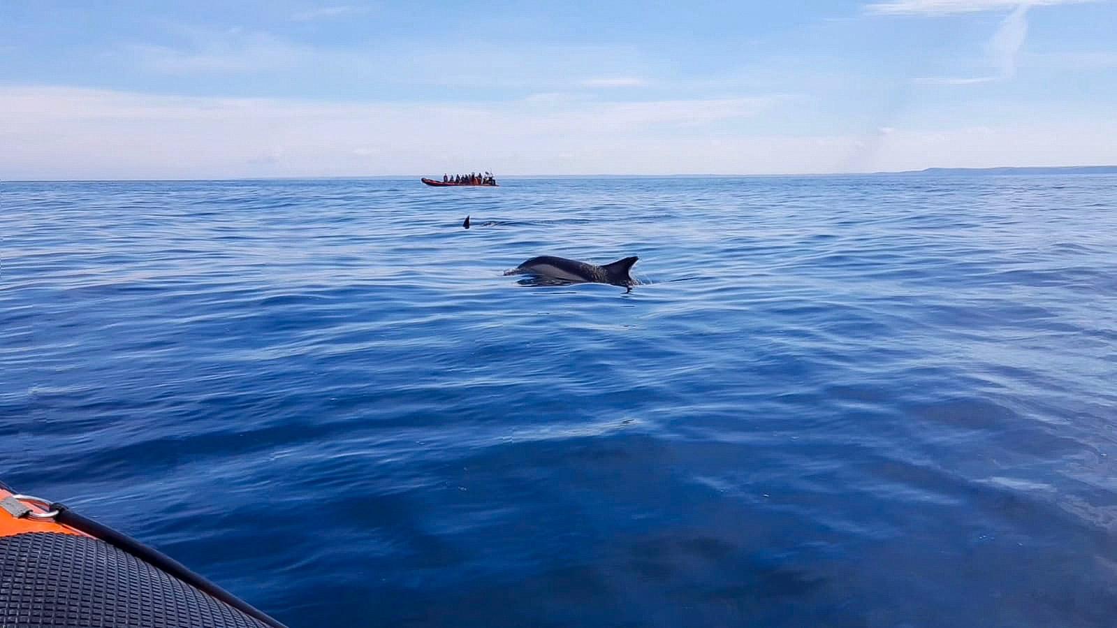 dolphins in Cornwall on Padstow sealife safari